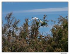 2017-05-15_Aigrette Garzette-0030.jpg (Hacheme 26) Tags: natureetpaysages aigrette oiseaux animaux saintesmariesdelamer provencealpescôtedazur france fr