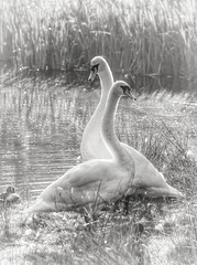Bright backlit Swans in black and white (Nina_Ali) Tags: swans 2swans blackandwhite monochrome highkey backlit leicester avian grass water dreamy softfocus bradgatepark leicestershire backlight september2018