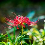 Spider lily (Lycoris radiata) : ヒガンバナ(彼岸花) thumbnail