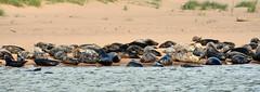 Wild Group (syf22) Tags: seal swim sea wild wildlife nature free primitive undomesticated tribe marine animal carnivores