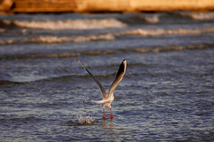 Birdwatching First Attempt (Dimi71) Tags: canon canoneos canondigital eos eos5d jupiter21m jupiter 200mm 200 200mmf4 bird seagull