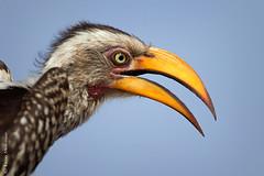 Yellow-billed Hornbill (leendert3) Tags: leonmolenaar southafrica krugernationalpark wildlife nature birds yellowbilledhornbill ngc npc coth5