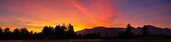 Mockingjay on fire (DENNIS CHAU | FOTOGRAPHY) Tags: lightroompanoramamergestitched nikond500apscdslrdxdigitalcameralightroomdennischau|fotography tamronsp35mmf18divcusdf012largeaperturefastprimelens handheld availablelight sunsetdusksky nature cloud chilliwack britishcolumbiacanada vividcolor silhouette outdoor landscape magichour mountain tree