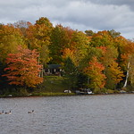 Fall colors with geese thumbnail