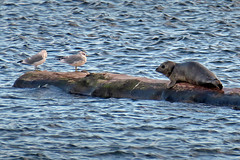 Baby seal and friends! (Reva G) Tags: seal baby pup harbourseal mammal pinniped bird seagull gull water ocean log northvancouver northshore burrardinlet choppy animals wildlife nature