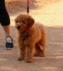 Molly (Webfoot5) Tags: dog dogs dogsonwalks dogzonwalkz goldendoodle