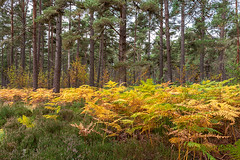 Edge of The Forest (Geoff France) Tags: landscape scottishlandscape wood forest trees pinetrees ferns bracken cairngorms national park