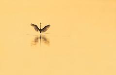 Great Egret (nikunj.m.patel) Tags: nature wild wildlife outdoors nikon naturephotography beauty sunrise calm