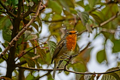 Robin in fine voice. (artanglerPD) Tags: robing perched singing tree sunshine