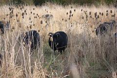 Titchmarsh-3 (garypendered) Tags: titchmarsh heron sheep water