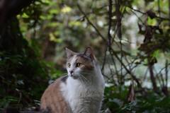in her jungle (rootcrop54) Tags: graciejo neighbor neighbors female dilute calico heryard friend neko macska kedi 猫 kočka kissa γάτα köttur kucing gatto 고양이 kaķis katė katt katze katzen kot кошка mačka gatos maček kitteh chat ネコ