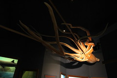 Big Squid Indeed. Life Sized Model of Japanese Giant Squid (Trail Trekker) Tags: santabarbaramuseumofnaturalhistory japanesegiantsquid giantsquid santabarbaracalifornia