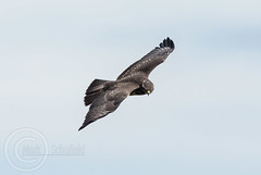 Wildlife October 7th 2018 113 - Buzzard on the prowl (Mark Schofield @ JB Schofield) Tags: pennine way south pennines peak national park trust hills moors vallies valley reservoir water peat moorland bog moss agriculture yorkshire huddersfield wessenden head pule buckstones scammonden royd edge holme colne marsden meltham digley march haigh west nab deer emley mast lapwing curlew hare bird wildlife oyster catcher chick young short eared owl hunting little duck mallard grouse kestrel red grey wagtail flight fly moorhen buzzard heron dipper geese canada goose great tit blue finch