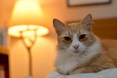 late nights with Jimmy (3 of 3) (rootcrop54) Tags: jimmy orange ginger male tabby cat latenight beingcute letmestay neko macska kedi 猫 kočka kissa γάτα köttur kucing gatto 고양이 kaķis katė katt katze katzen kot кошка mačka gatos maček kitteh chat ネコ