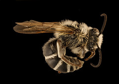 Colletes robertsonii, m, right, Hooker Co., Nebraska_2018-06-25-16.48.41 ZS PMax UDR (Sam Droege) Tags: zerenestacker stackshot geologicalsurvey unitedstatesgeologicalsurvey departmentoftheinterior droege biml beeinventoryandmonitoringlaboratory bug bugs canon closeup macro insect patuxentwildliferesearchcenter pwrc usgs dofstacking stacking entomologist canonmpe65 taxonomy:binomial=colletesrobertsonii animals animal bee bees apoidea hymenoptera pollinator nativebee entomology macrophotography hookercounty nebraska sandhills