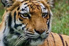 Royal Bengal tiger, portrait (ucumari photography) Tags: ucumariphotography bengal tiger pantheratigristigris cat animal mammal richmond virginia va zoo october 2018 dsc9978 specanimal