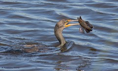 Double-crested Cormorant with Catch (rosemaryharrisnaturephotography) Tags: doublecrestedcormorantwithcatch bird water blue fish rosemaryharris canoneos7dmk11 canon400mmf56seriellens florida nature pond wildlife ngc npc coth5
