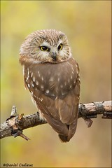 Northern Saw-whet Owl (Daniel Cadieux) Tags: owl northernsawwhetowl ottawa forest autumn fall vertical