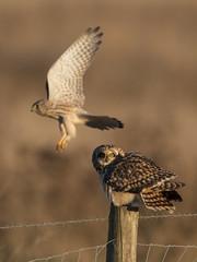 He's behind you! (Chris Bainbridge1) Tags: asioflammeus shortearedowl male kestrel robbery attempt sunset