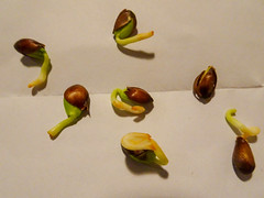 Seven sprouting apple pips, 2018 Oct 19 (Dunnock_D) Tags: chester unitedkingdom gb england britain uk apple pip seed closeup sprouting germinating white paper pips seeds
