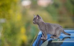 Kika (08) (Vlado Ferenčić) Tags: kika cats catsdogs zagorje vladoferencic pets vladimirferencic animals animalplanet kitty kittens kittysuperstar nikond600 nikkor8518
