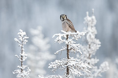 Northern Hawk-Owl (www.studebakerstudio.com) Tags: surnia ulula surniaulula northern hawkowl hawk owl raptor bird nature wildlife alaska studebaker dalton