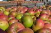 even more Bramleys (conall..) Tags: bramley bramleapple apple bramleys loads yard long meadow cider longmeadowcider armagh orchard sun outside