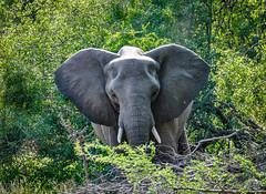 Elephant in the Kruger National Park (Volker Bartz) Tags: elefant krügernationalpark southafrica südafrika safari nikon d3000