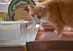 Yes, Jimmy. We know the dish drainer is yours. (rootcrop54) Tags: jimmy orange ginger tabby male longhair dishdrainer freddies restaurantchina beach towe window neko macska kedi 猫 kočka kissa γάτα köttur kucing gatto 고양이 kaķis katė katt katze katzen kot кошка mačka gatos maček kitteh chat ネコ