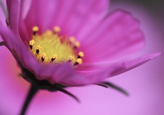 Pinks and Yellows (haberlea) Tags: garden mygarden flower nature pink yellow oneflower plant cosmos