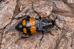 Nicrophorus vespilloides (NakaRB) Tags: 2017 insecta coleoptera silphidae nicrophorusvespilloides
