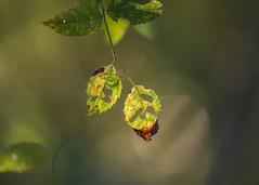 the 'holey' grail (Emma Varley) Tags: leaves autumn holes disintegrate decay brown yellow green light goldenhour