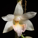 [Lanao Mindanao, Philippines] Dendrobium boosii Cootes & W.Suarez, Austral. Orchid Rev. 76(4): 49 (2011)