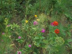 280 (en-ri) Tags: fiori flowers rosso arancione giallo verde erba grass sony sonysti aiuola