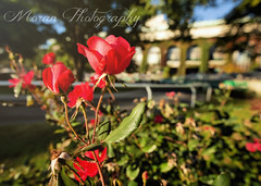 Beautiful Belmont blooming in the Fall (EASY GOER) Tags: flowers roses paddock belmontpark horse racing equine thoroughbred sports races track canon5dmarkiii