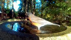 Robin (Capt. Free) Tags: washington westernwashington pnw pacificnorthwest bird birds birdphotobooth bath birdbath video americanrobin robin