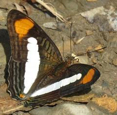 Adelpha thessalia (Birdernaturalist) Tags: bolivia butterfly lepidoptera limenitidinae limenitidini nymphalidae richhoyer
