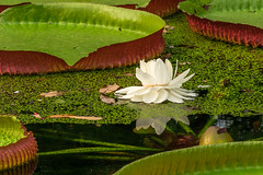 Huge Victoria Amazonica with tiny visitor (FotoCorn) Tags: lilly victoria exotic nature flower waterlily amazonica round victoriaamazonica pond plant blijdorpzoo beautiful flora rotterdamzoo blijdorp brazil leaf petal zoo bloom botany tropical summer