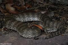Common Death Adder (Jayden Walsh) Tags: acanthophis antarcticus death adder snake reptile wildlife sydney ambush venomous deadly fastest striking
