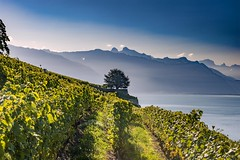 A lonely tree in Lavaux. Canton of Vaud, Switzerland.izakigur 07.09.15, 09:37:03 no. 9958. (Izakigur) Tags: vaud romandie unesco vineyard vignoble weinberg viña vigneto كرم vinha 葡萄园 виноградник viniculture tree luz lumière light licht ضوء אור प्रकाश ライト lux światło свет ışık switzerland svizzera lasuissehelvetialibertyizakigurflickrfeeleuropeeuropadie schweizchla suissemusictomyeyesnikkornikonsuizasuisiaschweizsuizoswissسويسراlaventuresuissemy switzerlandschwyzsuïssaizakigurflickrle petit princethe little princeil piccolo principe landscape alps alpes alpen green blue