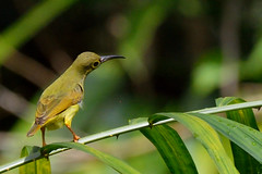 Spectacled Spider hunter (A_K_B) Tags: spectacled spider hunter sunbird bird spiderhunter nikon 200500mm