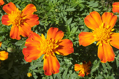 French Marigolds - Bright And Tight (Modkuse) Tags: frenchmarigolds marigolds flower flowers orange brightcolors garden flowergarden nature natural art photoart fujifilm fujifilmxt2 xt2 xf1024mmf4rois fujinon fujinonxf1024mmf4rois wide wideangle wideanglezoomlens