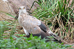 look at me....! (MiChaH) Tags: blijdorp diergaarde dierentuin zoo 2018 vogel bird roofvogel rotterdam