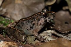 RAD_0949 (RhysSharryArchive) Tags: amphibia anura asiangrassfrog borneo chordata danumvalley fejervaryalimnocharis rhyssharry sabah amphibian frog
