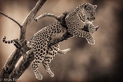 The Leopard (Anas Fathi) Tags: southafrica predators bigcats wildlife leopard