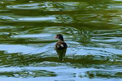 Teichhuhn (ivlys) Tags: darmstadt herrngarten teich pond teichhuhn teichralle gallinulachloropus commonmoorhen vogel bird tier animal wasser water natur nature ivlys