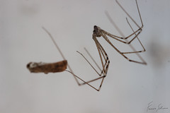 The hunter (f.bigslave) Tags: spider pholcus species daddy long legs spooky scary science fiction horror funny animal insect macro zoology observation curiosity canon eos 600d sigma ex dg os hsm 105 mm macrounlimited macrophotography salticidae eight eyes small cute arachnide