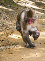 Snow Monkeys Evacuation (Synghan) Tags: snowmonkey snow monkey japanesemacaque japanese macaque evacuation two 2 holding grabbing grip hug hugging vertical kyoto nature natural wild wildlife animal animals photography outdoor colourimage fragility freshness nopeople foregroundfocus adjustment interesting awe wonder fulllength frontview escaping running quitting macaca ape day daylight arashiyama asia head canon eos80d 80d sigma 1770mm f284 dc macro lens 일본 원숭이 일본원숭이 도망