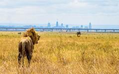An amazing view spoilt by an unnecessary railway at the Nairobi national park Kenya (khelan919) Tags: amazingview wildanimals saveouranimals wildlifepark animals animalplanet natgeo africa sgr railway cityview lion wildlifephotography kenya africansky kenyaafricansky nairobinationalpark animal wildlife