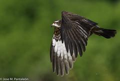 1-En sus garras lleva el botín!!!PARA COMER CARACOL HAY QUE MOJARSE EL TRASERO!! No importa si tienen plumas o pelos, o simplemente revestidos por conchas!Los halcones vinieron para triunfar!! (Cimarrón Mayor 14,000.000. VISITAS GRACIAS) Tags: ordenaccipitriformes familiaaccipitridae subfamiliamilvinae génerorostrhamus caracolerocomún elaniocaracolero gaviláncaracolero milanocaracolero hembra nombrecientificorostrhamussociabilis nombreinglessnailkite female lugardecapturalagunadesonso cali colombia ave vogel bird oiseau paxaro fugl pássaro птица fågel uccello pták vták txori lintu aderyn éan madár cimarrónmayor panta pantaleón josémiguelpantaleón objetivo500mm telefoto700mm 7dmarkii canoneos canoneos7dmarkii naturaleza libertad libertee libre free fauna dominicano pájaro montañas